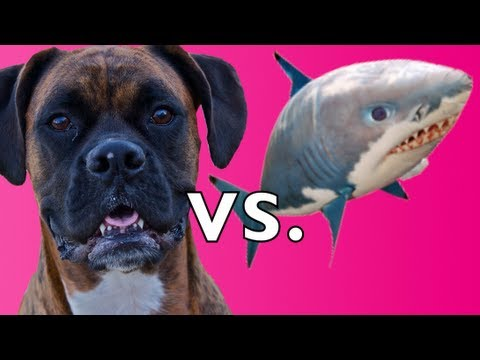 (New) Brock the boxer dog vs. air swimmer shark!!!