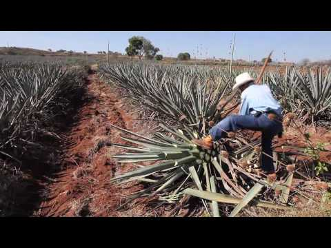 (New) Making tequila, harvesting a blue agave plant in mexico